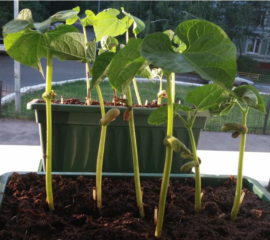 Как растут фасоль